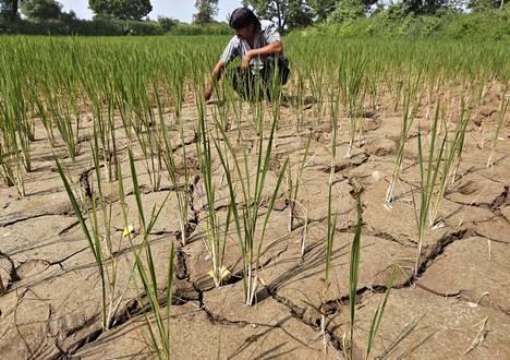 Intiassa on ollut toistuvia kuivuuskausia, mikä on vaikuttanut muun muassa riisintuotantoon. Kuvassa riisipelto Ahmedabadin lähellä syyskuussa 2015.