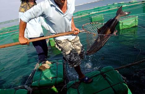Kalastaja pyydysti oka-ahvenen haavilla kalanviljelylaitoksella Taiwanissa kesällä 2007.