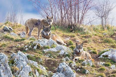 Kolme sutta lepäsi rinteessä Aquilan maakunnassa Abruzzon alueella Italiassa. Kuvan sudet elävät vankeudessa.