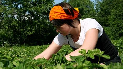 Esimerkiksi mansikanpoimijoille on vielä työtä tarjolla kesäksi.