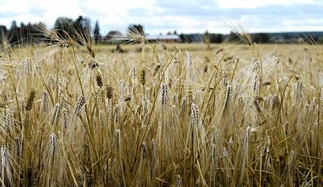 Ohra on eniten viljelty vilja Suomessa.