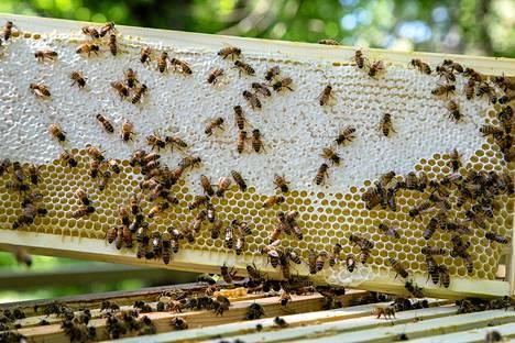 Toisin kuin tarhamehiläiset, villimehiläislajeista moni on vaarassa kuolla sukupuuttoon.