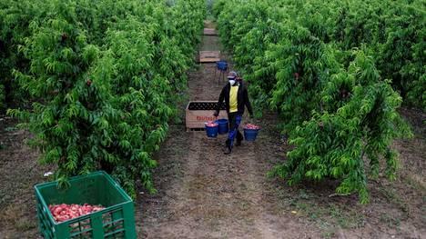 Afrikkalainen siirtolainen keräämässä persikoita hedelmätilalla Espanjan Lleidassa kesäkuussa.