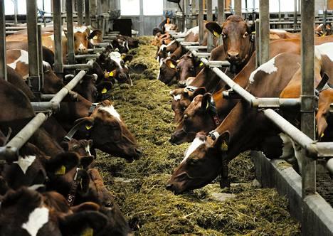Lehmät ruokailivat Jesse Mårtensonin automatisoidussa navetassa Myrskylässä maaliskuussa.