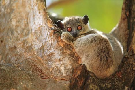 Naaraita puolustava apina jättää haisevimmat terveiset, selvisi Madagaskarin puoliapinoita koskevassa tutkimuksessa.