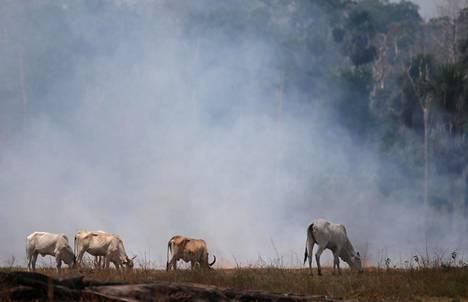 Karjaa laiduntaa kentällä, jonka puut on poltettu metsänraivauksen takia. Kuva syyskuulta 2019.
