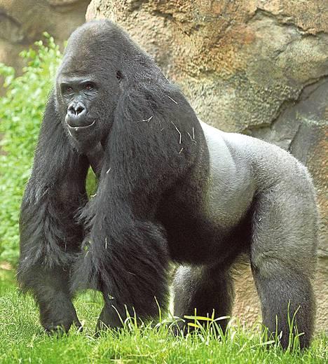 Etelä-Carolinan eläintarhaan muuttava Patrick-gorilla viihtyy paremmin ihmisten kuin toisten gorillojen kanssa.
