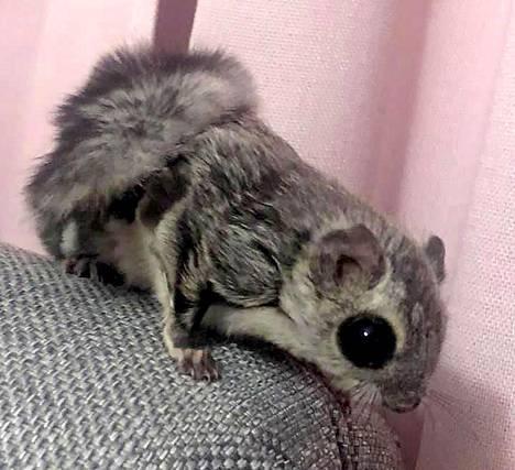 Elena Vikströmin asuntoon liito-orava oli tullut todennäköisesti avonaisen ikkunan kautta.