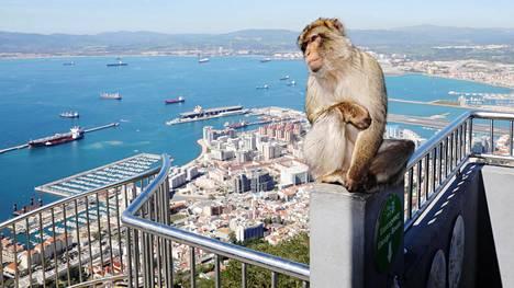 Gibraltarinvuorella elää muutama sata magottia, jotka ovat Euroopan ainoat luonnonvaraiset apinat. Tarinan mukaan Gibraltar pysyy brittiläisenä vain niin kauan kuin apinat pysyvät siellä. Kuvassa apinan vasemmalla puolella näkyy Gibraltarin keskusta, oikealla puolella Gibraltarin lentokenttä ja La Línea de la Concepciónin kaupunki Espanjassa.