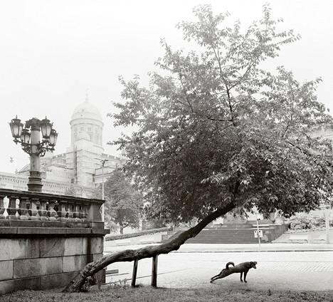 """Helsinki, 1982: """"Tämä katunsa ainoa tuomi oli yksi mieluisimmista kuvauskohteistani Helsingissä"""", Pentti Sammallahti sanoo. """"Tuettuna se venyttäytyi jalkakäytävän ylle ja tuntui kukkiessaan valaisevan koko harmaan ympäristönsä. Liekö koira löytänyt siitä omakuvansa tai ainakin hengenheimolaisensa."""""""