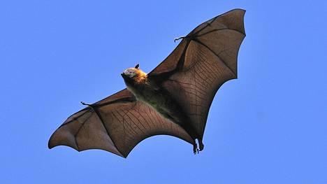 Hedelmälepakot ovat maailman suurimpia lepakoita.