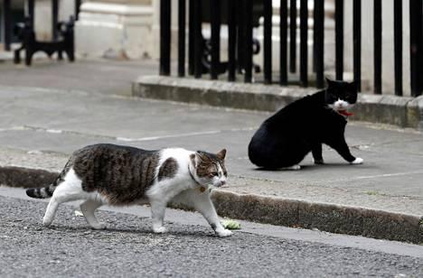 Tunnelma on kireä, kun pääministerin virka-asunnon päähiirestäjä Larry (edessä) ohittaa ulkoministeriön Palmerstonin Downing Streetillä kesäkuussa 2017.