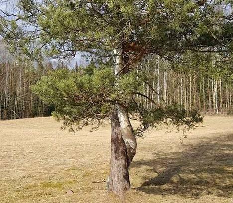Kaksi Puuta Hämeenlinna