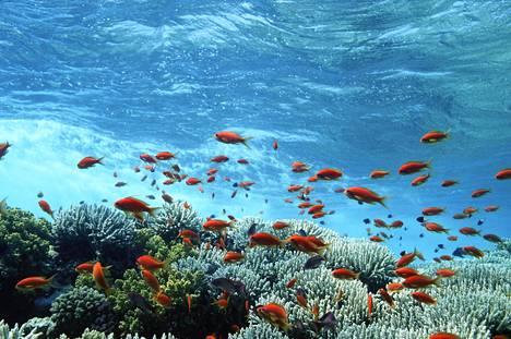 Korallit kärsivät ilmaston lämpenemisestä ja merien happamoitumisesta.