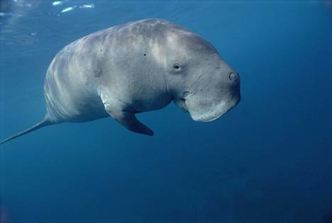 Dugongi köllii haaleassa vedessä.