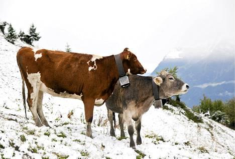 Lehmät ihmettelevät aikaista ensilunta Furggelsissä Sveitsissä.