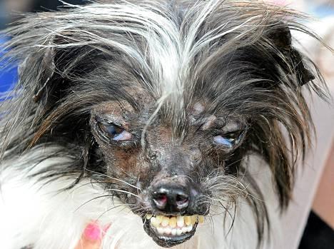 Peanut, oletettavasti chihuahuan ja shitzun sekoitus, voitti Maailman rumin koira -kilpailun tänä vuonna.
