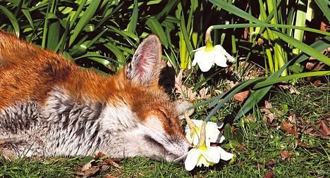 Kettu nautti auringosta puutarhassa Lontoossa. Pormestari Boris Johnsonin mukaan ketut ovat kaupungissa kasvava uhka.
