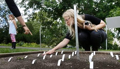 Helsingin yliopiston tutkijaryhmä kokeilee uhanalaisten kasvilajien siirtoa rauhoitetulla ruijanesikolla. Tohtorikoulutettava Maria Hällfors kitkee ruijanesikkopenkkiä Kaisaniemen kasvitieteellisessä puutarhassa.