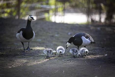 Valkoposkihanhien pesässä on yleensä noin viisi munaa. Kun poikaset ovat kuoriutuneet, hanhiperhe siirtyy nurmialueille tai rannoille syömään.