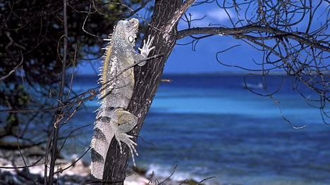 Iguaaneja, kuten kuvan Iguana iguana, tavataan Keski- ja Etelä-Amerikassa sekä Karibialla. Tämä yksilö kuvattiin Hollannin Antilleilla.