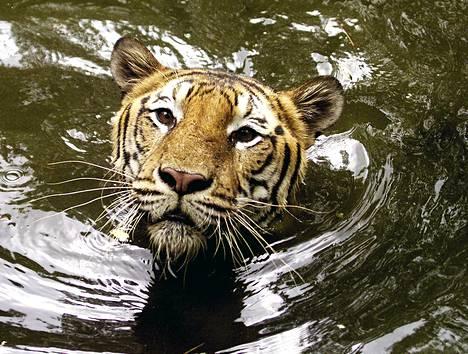 Uhanalaisia bengalintiikereitä elää Bangladeshissa enää vain noin sata yksilöä.
