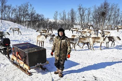 Norjan saamelainen poromies Ole Thomas Baal ruokkii pihapiirin porojaan heinällä ja rehulla Galggussa Skibotnin kunnassa aivan Suomen rajan tuntumassa.