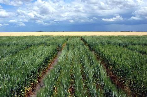 Suolaa sietävää durum-vehnää kasvatetaan Uudessa Etelä-Walesissä Australiassa.