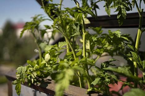 Alkuviikosta riehunut myrsky katkoi tomaatin taimien latvat.