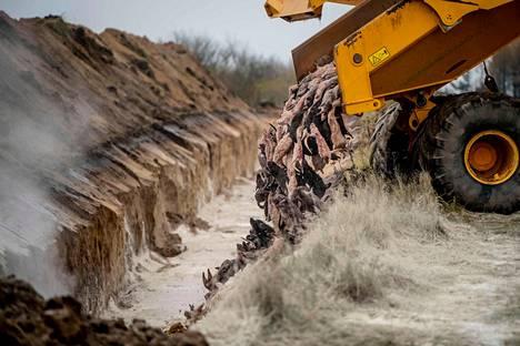 Minkkejä kipattiin kuorma-auton lavalta kaivantoon Holstebron lähistöllä sijaitsevalla sotilasalueella Tanskassa 9. marraskuuta.
