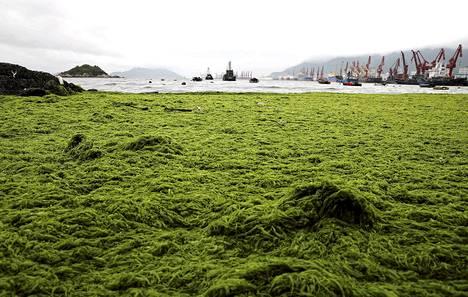 Levä on peittänyt merenrannan Lianyungangin edustalla Kiinassa.