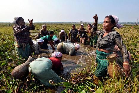 Adivaseihin eli Intian alkuperäiskansoihin kuuluvan tiwaheimon naiset kalastivat sadonkorjuujuhlassa Nagaonin alueella Assamin osavaltiossa Koillis-Intiassa toissa vuonna.