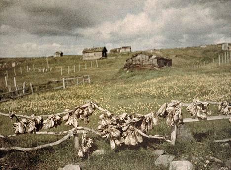 """Kylämaisema, kapakaloja kuivumassa (Petsamo, 1929). """"Petsamon alue kuului Suomeen vain pari vuosikymmentä, mutta sen merkitys oli sekä taloudellisesti että kulttuurisesti suuri. Kun Neuvostoliiton raja oli sulkenut vanhan yhteyden Itä-Karjalaan, kansatieteellisesti suuntautuneet valokuvaajat tuottivat arvokkaita dokumentteja koltista ja heidän asuinalueestaan."""""""