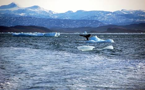 Pohjoiset merijäät jäivät tänä talvena pienimmilleen satelliittihavaintojen aikakaudella. Kuvassa Grönlannin rannikkoa pääkaupungin Nuukin edustalla vuonna 2012.