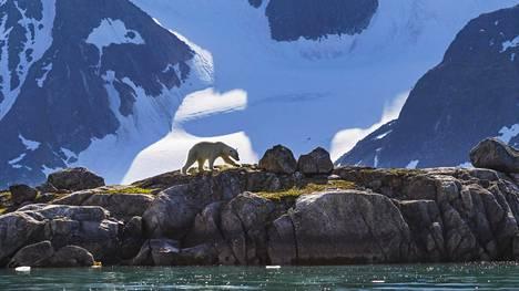 Jääkarhu taittoi matkaa Huippuvuorten rantoja pitkin.