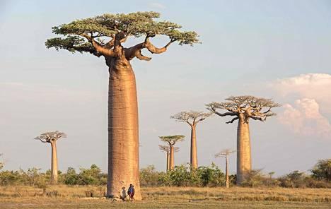 Apinanleipäpuun uskotaan voivan elää jopa 5000 vuotta vanhaksi. Tyypillisesti puu on sisältä ontto.