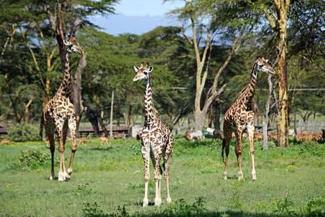 Naivashan Sanctuary farmilla saa kävellä toisin kuin kansallispuistoissa. Kirahvit kävelevät usein ihan kohti ja ohittavat ihmisen muutaman metrin päästä.