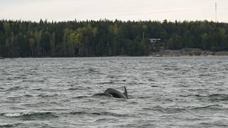 Pullokuonodelfiini kuvattuna Kemiönsaaren edustalla torstaina 21. toukokuuta 2020.