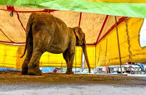 Vielä kolme viikkoa sitten vuonna 1965 syntynyt Medi oli näytillä Tallinnassa. Tänään eläintensuojelijat järjestävät tunnetun norsun muistotilaisuuden.