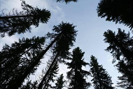 Metsä sitoo kiihkeimmin hiiltä 25–40-vuotiaana. Juuri sen ikäistä metsää Suomessa on paljon.