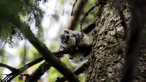 Pajamäen Patterimäen puistosta löydettiin viime vuonna liito-oravan papanoita, mikä keskeytti raitiolinjan valmistelutyöt. Kuvassa liito-orava Lohjalla.