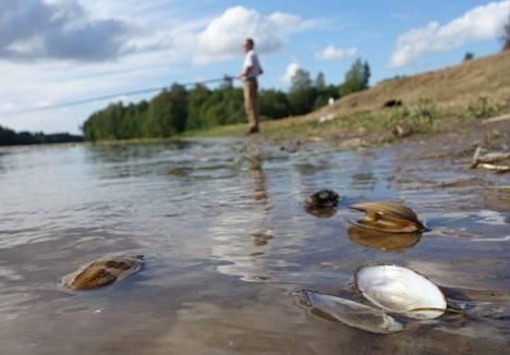 Kokemäenjoen nikkelivuodon vaikutuksia simpukoiden kuolemiin tutkitaan.