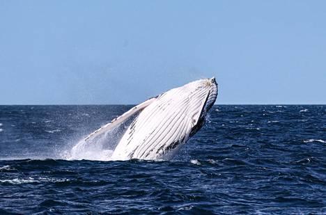 Täysikasvuinen ryhävalas painaa vähintään 25 tonnia.