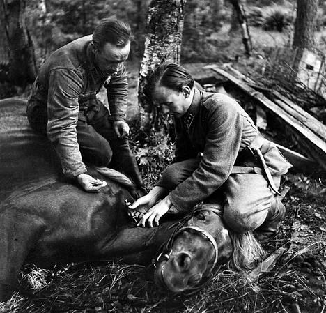 Haavoittunutta hevosta lääkitään jatkosodan aikaan. Jos hevonen jouduttiin lopettamaan, liha syötiin. Helpompaa oli syödä sotasaaliiksi saatuja hevosia kuin omia.