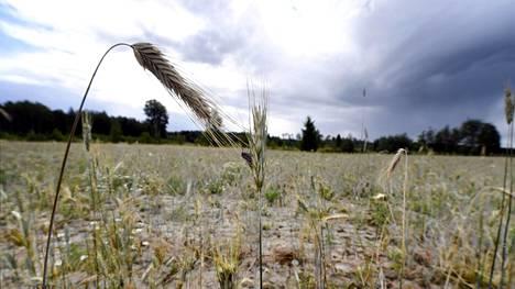 Kuivuudesta kärsinyttä ruispeltoa Rauhamäen tilalla Hollolassa 7. elokuuta 2018.