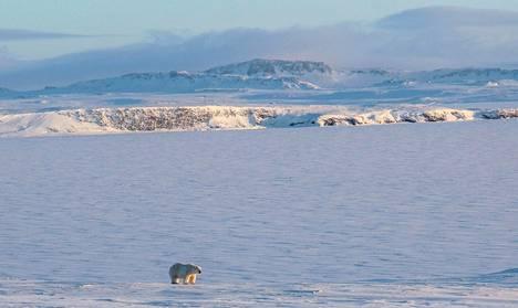 Venäjän akrtisen kansallispuiston kuvassa jääkarhu matkasi Novaja Zemlan alueella Venäjällä.