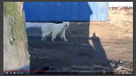 Kuvakaappaus videosta, johon on tallentunut jääkarhun tepastelua Kamtšatkan niemimaalla Venäjällä.