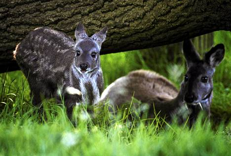 Nyt löytynyt kashmirinmyskihirvi on hyvin saman näköinen kuin kuusi muuta olemassa olevaa myskihirvilajia, esimerkiksi kuvassa oleva siperianmyskihirvi. Kyseinen myskihirviuros kuvattiin poikasensa kanssa Edinburghin eläintarhassa.