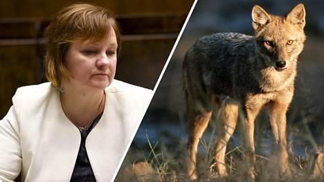 Kansanedustaja Anne Kalmari vaati torstaina sakaalin poistamista Suomen luonnosta.