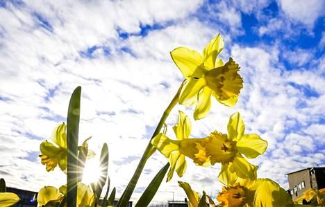 Kukkivia pääsiäisliljoja aurinkoisessa Helsingissä pitkäperjantaina 2. huhtikuuta 2021. Ensi viikolla aurinko ei luultavasti juuri näyttäydy.